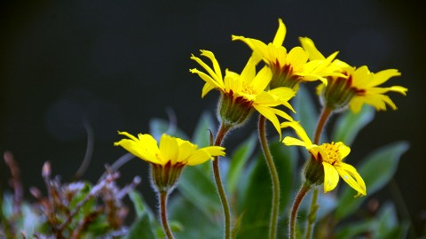 Arnica: the healing daisy